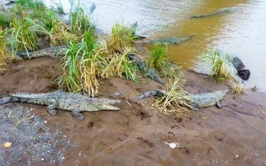 Crocodile bridge Tarcoles Costa Rica